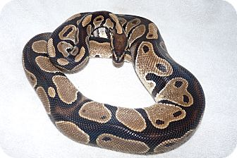 Snake for Sale in Richmond, British Columbia - Powder