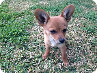 Pomeranian/Chihuahua Mix Puppy for Sale in San Diego, California - Tiny TEDDY