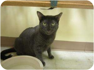 Russian Blue Cat for adoption in Margate, Florida - Riley