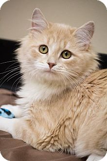 Maine Coon Cat for Sale in Chicago, Illinois - Julian