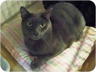 Domestic Shorthair Cat for adoption in Secaucus, New Jersey - Bertram Cooper