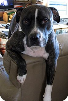 American Staffordshire Terrier Mix Dog for adption in Seattle, Washington - zeus