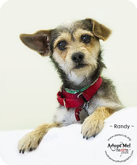 Terrier (Unknown Type, Small) Mix Dog for Sale in Phoenix, Arizona - Randy