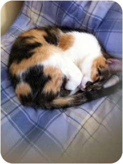 Calico Cat for Sale in Pittstown, New Jersey - Morgan