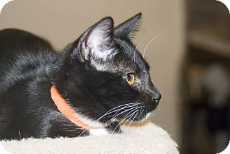 Domestic Shorthair Cat for adoption in Elfers, Florida - Amy