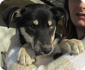 Rat Terrier/Miniature Pinscher Mix Puppy for Sale in Lincolnton, North Carolina - Richie