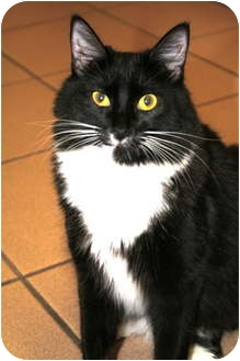 Domestic Mediumhair Cat for Sale in Naples, Florida - Tux
