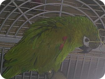 Macaw for Sale in Punta Gorda, Florida - Bucky