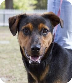 Labrador Retriever/Rottweiler Mix Dog for Sale in Gainesville, Florida - Bailey