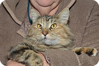 Maine Coon Cat for Sale in Ranch Palos Verdes, California - Mitzi