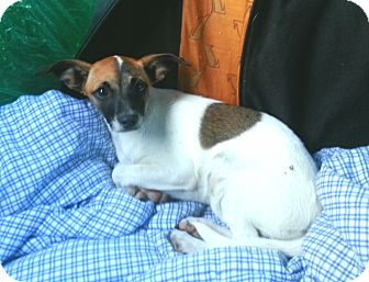 Looking for a Jack Russell Terrier/Smooth Fox Terrier puppy in ...
