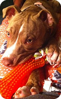 American Pit Bull Terrier Mix Dog for adption in Garland, Texas - Anabella Lee