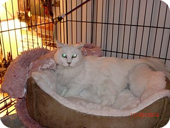 Turkish Angora Cat for adoption in San Luis Obispo, California - Destiny