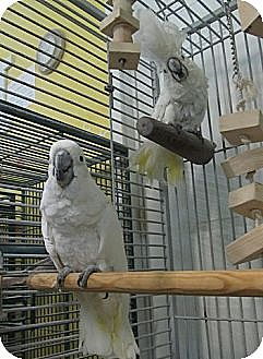 Cockatoo for adoption in Edgerton, Wisconsin - BooBoo &amp; Sweetie