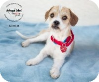Terrier (Unknown Type, Small) Mix Dog for Sale in Phoenix, Arizona - TaterTot
