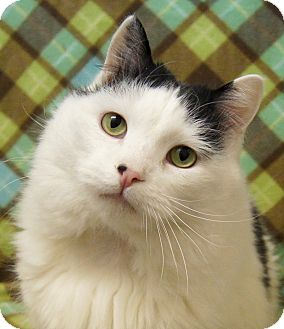 Turkish Van Cat for Sale in Colorado Springs, Colorado - Tweety