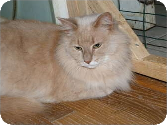 Maine Coon Cat for adoption in Stafford, Virginia - Baby