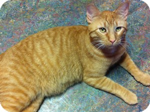 Domestic Shorthair Cat for adoption in Topeka, Kansas - Dunn