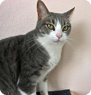 Domestic Shorthair Cat for adoption in Youngtown, Arizona - Polly Anna