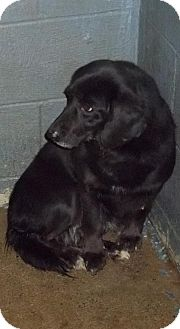 Retriever (Unknown Type)/Labrador Retriever Mix Dog for adption in Logan, West Virginia - Macy