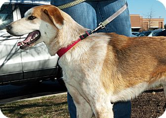Collie Mix Dog for Sale in Richmond, Virginia - Daytona