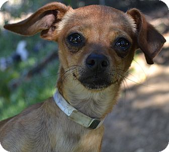 Dachshund/Chihuahua Mix Dog for Sale in Simi Valley, California - Paris