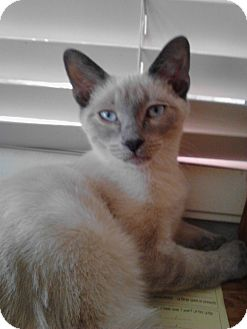Siamese Kitten for Sale in Mesa, Arizona - Frank