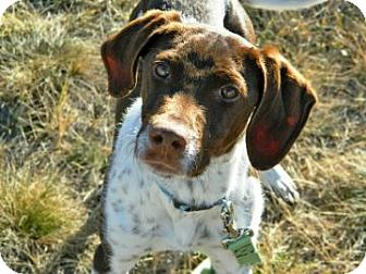 German Shorthaired Pointer Mix Dog for Sale in Cheyenne, Wyoming - Carl