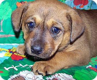 Australian Cattle Dog/German Shepherd Dog Mix Puppy for Sale in Sherman, Connecticut - Apple Betty's Dog