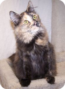 Domestic Mediumhair Cat for Sale in Colorado Springs, Colorado - K-Talia1-Darcy