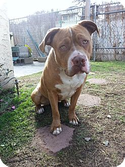 American Staffordshire Terrier/Pit Bull Terrier Mix Dog for adption in Bellflower, California - URGENT! Sam Malia
