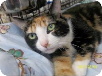 Calico Cat for Sale in Riverside, Rhode Island - Madeline