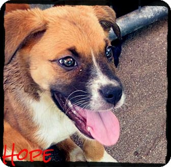 Australian Shepherd/Boxer Mix Puppy for Sale in anywhere, New Hampshire - Hope *Reduced Adoption Fee*