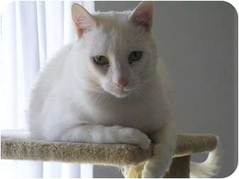 Domestic Shorthair Cat for adoption in Richmond Hill, Ontario - Yugi