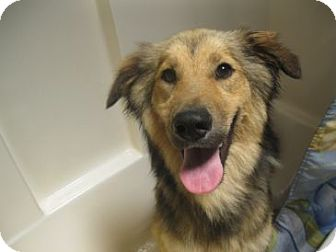 Shepherd (Unknown Type) Mix Dog for adption in Pelham, New York - Allen