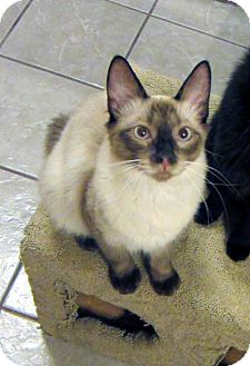 Siamese Cat for Sale in Long Beach, California - Liam