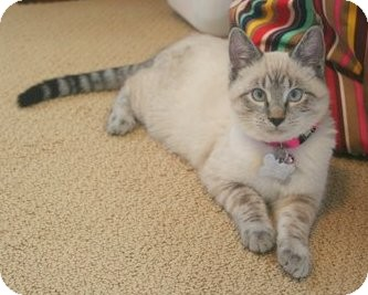 Domestic Mediumhair Kitten for Sale in Boise, Idaho - Rogue