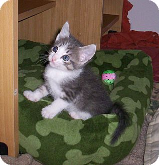 Domestic Shorthair Kitten for Sale in Orlando, Florida - Whitney