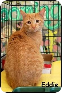 Domestic Shorthair Cat for adoption in Merrifield, Virginia - Eddie