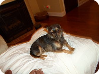 Yorkie, Yorkshire Terrier/Shih Tzu Mix Dog for Sale in Harrisonburg, Virginia - Precious