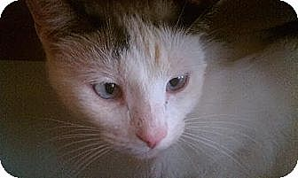 Snowshoe Cat for adoption in Greenville, North Carolina - Meadow