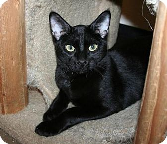 Bombay Kitten for Sale in Scottsdale, Arizona - Josh- Courtesy Post