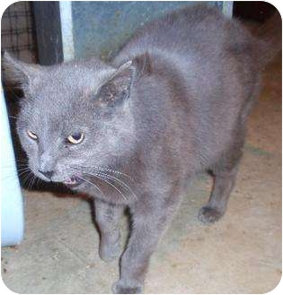 Domestic Shorthair Cat for adoption in Waldorf, Maryland - Zeus