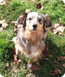 Australian Shepherd Mix Dog for Sale in Danbury, Connecticut - Clarabelle