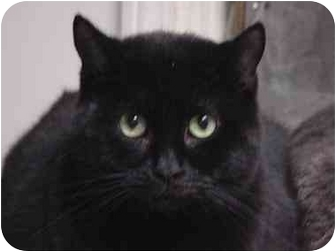 Domestic Shorthair Cat for adoption in Union Lake, Michigan - Cleo>^.,.^< $35 adoption