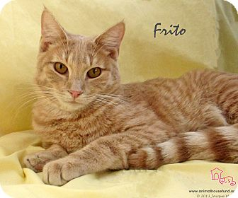Domestic Shorthair Cat for adoption in St Louis, Missouri - Frito