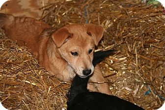 Shepherd (Unknown Type) Mix Puppy for Sale in Morgantown, West Virginia - Dusty