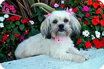 Lhasa Apso Mix Dog for Sale in Los Angeles, California - QUINLAN