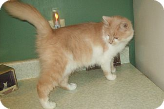 Domestic Longhair Cat for Sale in Dover, Ohio - Tiffany