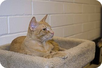Domestic Shorthair Cat for adoption in Elfers, Florida - Rusty